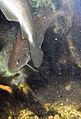 Pollachius pollachius(02).jpg