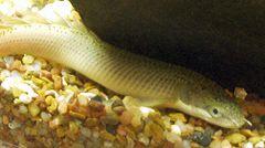 Polypterus senegalus senegalus.jpg