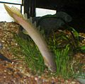 Polypterus senegalus senegalus headstand.jpg