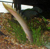 Polypterus senegalus senegalus headstand