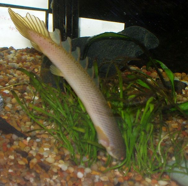 African oddities the bichirs and reedfish for Eel fish tank