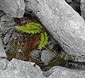 Polystichum aculeatum Burren Flora 03.jpg
