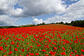 Poppies again 1 (5781248599).jpg