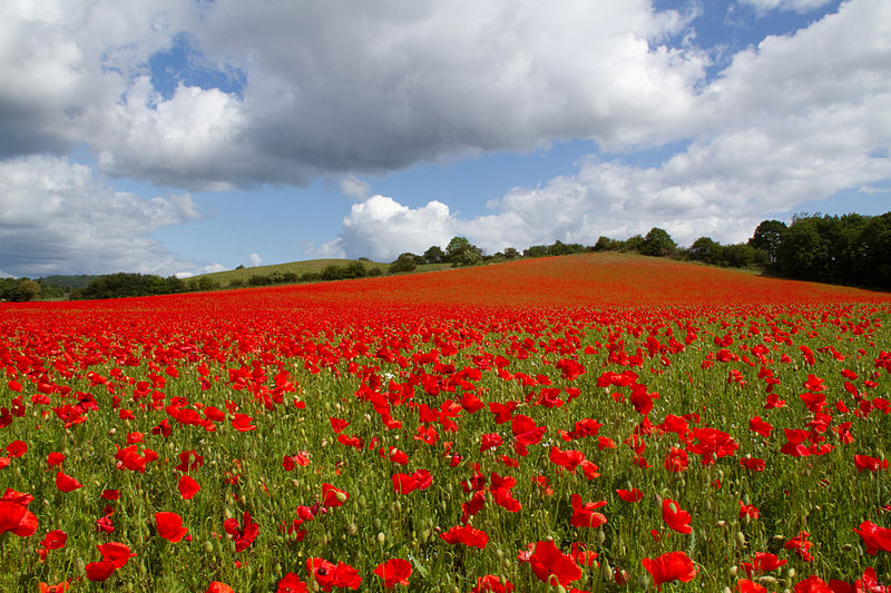 File:Poppies again 1 (5781248599).jpg