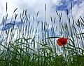 Poppy (27817694505).jpg
