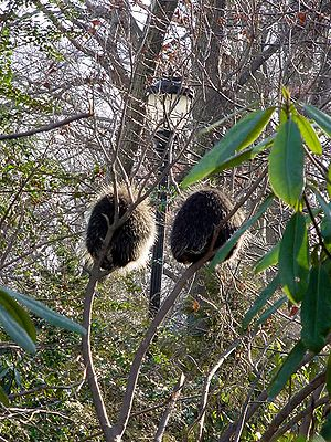 Prospect Park Zoo - A pair of North American porcupines in a tree. Discovery Trail, World of Animals exhibit at the Prospect Zoo