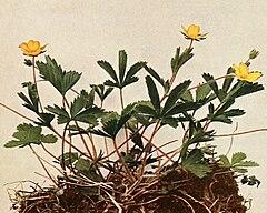 Potentilla canadensis WFNY-092A-5x4.jpg