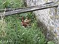 Poules dans les Coëvrons.jpg