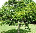 Poupartia borbonica - Mauritius 2.jpg