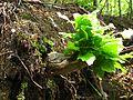 Povlen - Srednji Povlen - reka Cetina - Flora 1.jpg