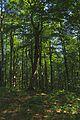 Prírodná rezervácia Borsukov vrch, Národný park Poloniny (07).jpg