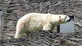 Prague Zoo - polar bear.jpg