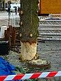 Praha, Staré Město, Staroměstské náměstí, instalace vánočního stromu 2010, upevnění kmene.jpg