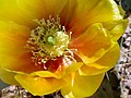 Prickly Pear Cactus Flower.jpg
