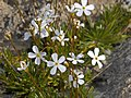 Primulaceae - Androsace lactea.jpg