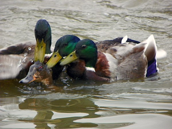 Project 365 Day 104 Mallard attack (5620251974).jpg