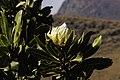 Protea comptonii (8373025765).jpg