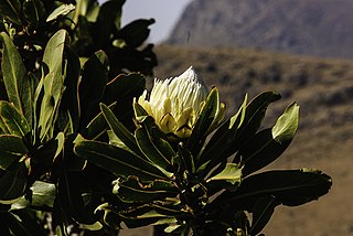 <i>Protea comptonii</i> Species of flowering plant in the family Proteaceae