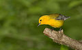 Prothonotary warbler 3.jpg