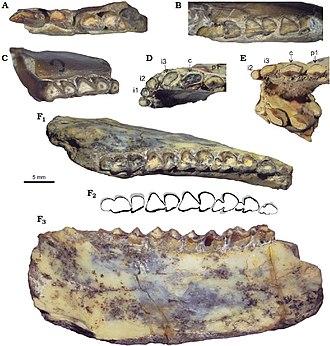 Collón Curá Formation - Lower dentition of Protypotherium endiadys