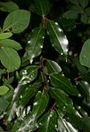 Prunus-lusitanica-leaves.JPG