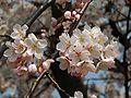 Prunus serrulata 2005 spring 015.jpg
