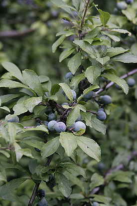 Prunus spinosa001.jpg