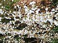 Prunus subhirtella autumnalis - Flickr - peganum (2).jpg