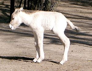 Askania-Nova - A two-day-old foal born to a mare of the rare Przewalski's Horse