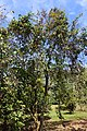 Psidium friedrichsthalianum - Fruit and Spice Park - Homestead, Florida - DSC08901.jpg