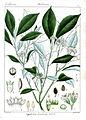 Psychotria bisulcata Rungiah.jpg
