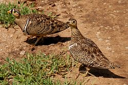 Pterocles decoratus -Serengeti National Park, Tanzania -pair-8.jpg