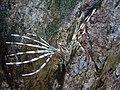 Pterois volitans.402 - Aquarium Finisterrae.jpg