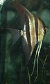 Pterophyllum scalare (freshwater angelfish) 3 (15533329809).jpg