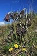 Pulsatilla pratensis in natural monument Kalvarie v Motole in spring 2012 (6).JPG