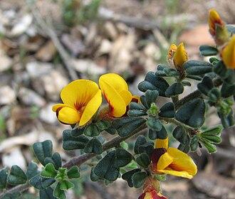 Pultenaea - Pultenaea scabra in Brisbane Ranges National Park, Victoria