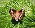 Purple Thorn. Selenia tetralunaria - Flickr - gailhampshire (3).jpg