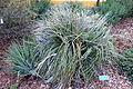 Puya alpestris - San Luis Obispo Botanical Garden - DSC06102.JPG