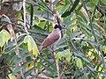 Pycnonotus aurigaster (39384131200).jpg