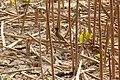 Pycnonotus xanthorrhous (8631978066).jpg