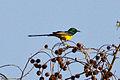 Pygmy Sunbird (Hedydipna platura).jpg