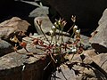 Pygmy rockjasmine, Androsace septentrionalis (25618486304).jpg