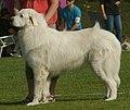 Pyrenean Mountain Dog 2.jpg