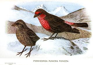 Red-fronted rosefinch species of bird