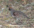 QUAIL, GAMBEL'S (11-21-10) blue haven road, patagonia, scc, az -01 (5196245394).jpg