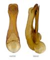 Quedius longicornis Kraatz, 1857 Genital.png