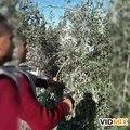 Fichier:Récolte des olives.webm