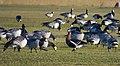 Rödhalsad Gås Red-breasted Goose (20324769306).jpg