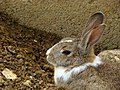Rabbit خرگوش 05.jpg
