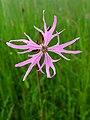 Ragged Robin flower (Lychnis flos-cuculi) - geograph.org.uk - 1364198.jpg